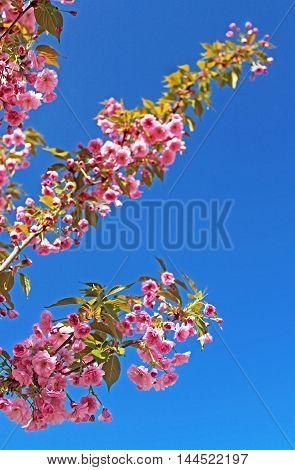 Sakura Flower or Cherry Blossom over blue sky. The bottom branch is in focus