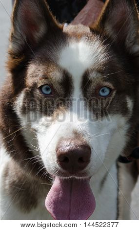 Husky dog portrait with tongue out and beautiful alert eyes.  Vertical shoot.
