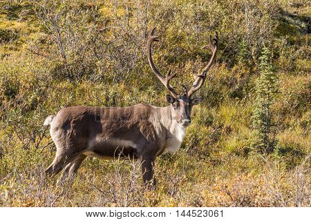 a nice barren ground caribou bull in velvet in alaska