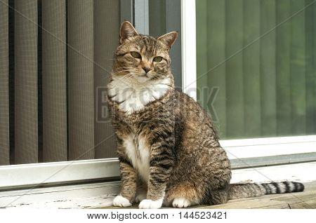Female tabby cat sitting in front of house window door