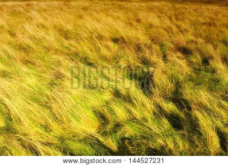 A field of tall green and golden grass filling the entire frame