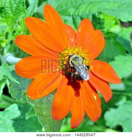 Red daisy and bee in High Park of Toronto Canada August 23 2016