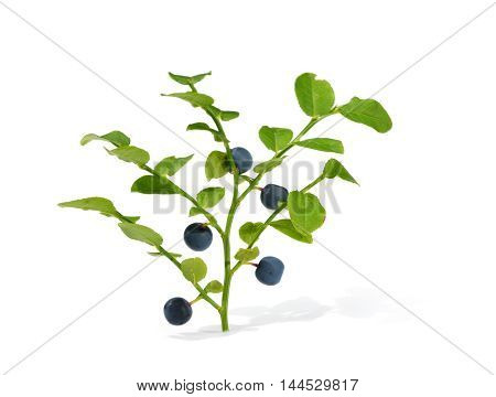 Blue ripe blueberries isolated on white background