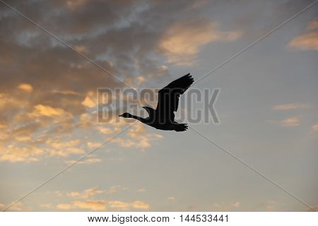 A silhouette of a Canada goose (Branta Canadensis) in flight.