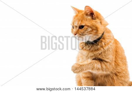 interested red cat on a white background