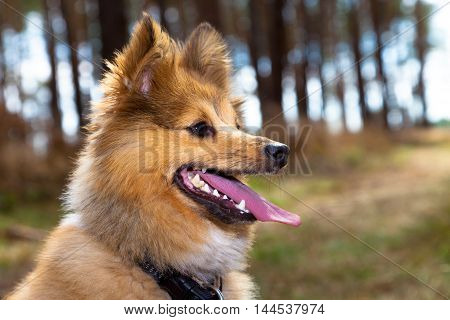 a shetland sheepdog looks to the right side