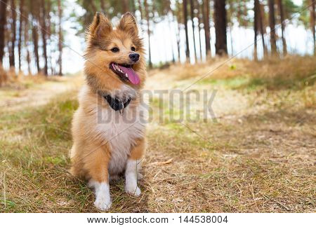 a shetland sheepdog sits in a forest