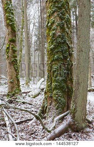 Old elm tree moss wrapped in winter, Bialowieza Forest, Poland, Europe