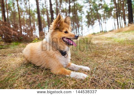 a shetland sheepdog lies in a forest