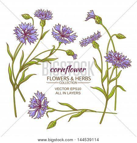 blue cornflower vector set on white background