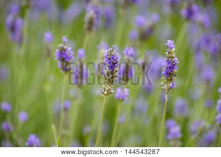 Blurred background of lavender flowers in the summer