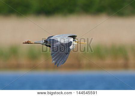Grey heron (Ardea cinerea) in flight with vegetation in the background