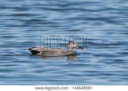 Gadwall (Anas strepera) swimming in blue water in uts habitat