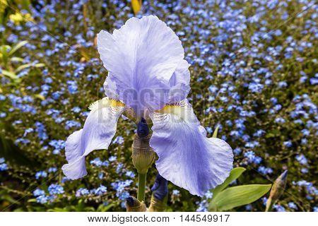Pale blue Bearded Iris (Iris Germanica)  in full bloom in a garden close-up.