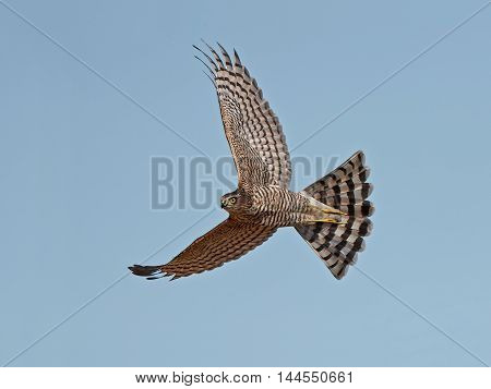 EEurasian sparrowhawk (Accipiter nisus) in flight with blue skies in the background