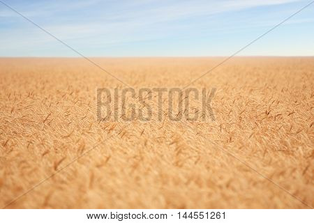 big golden field covered of cereals till skyline