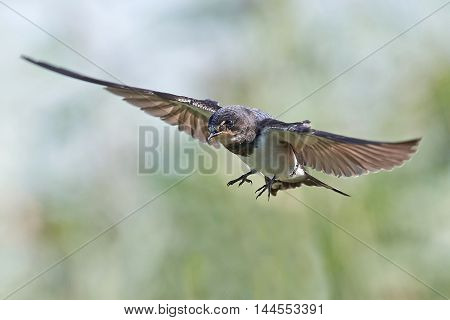 Barn swallow (Hirundo rustica) in flight with vegetation in the background