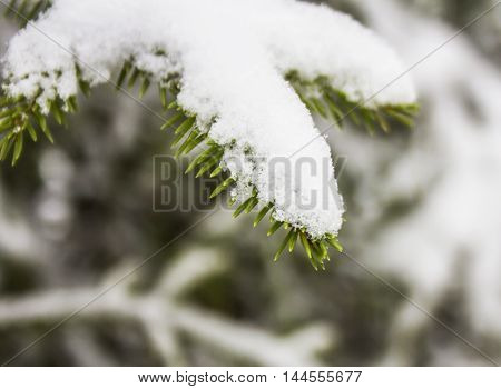 Spruce branches covered with snow, Branch of fir tree in snow, background
