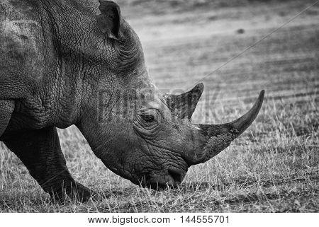black and white portrait of a black rhino side view Kenya
