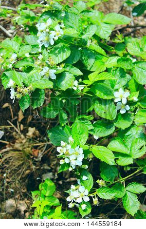 blooming wild raspberries on the bush with flowers