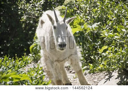 A Mountain goat seen on a hiking trail in Glacier National Park Montana United States.