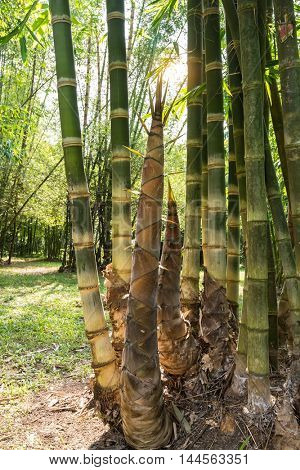 Shoot of Bamboo in the forest