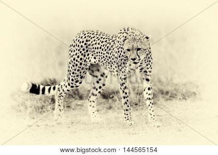 Wild African Cheetah. Vintage Effect