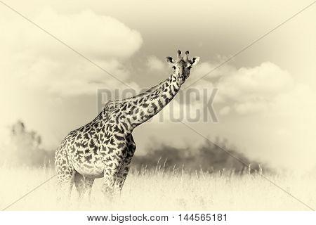 Giraffe On Savannah In Africa. Vintage Effect