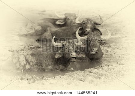 Water Buffalo Are Bathing In A Lake. Vintage Effect