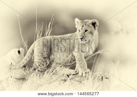 African Lion Cub, (panthera Leo), National Park Of Kenya. Vintage Effect