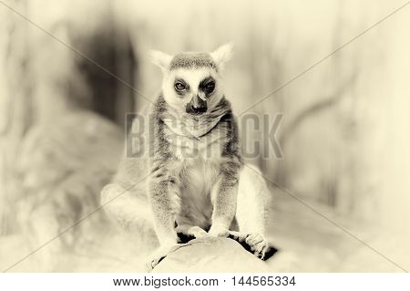 Ring Tailed Lemur. Vintage Effect