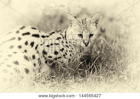 Serval Cat (felis Serval) Walking In The Nature. Vintage Effect