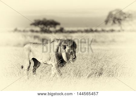 Lion In Grass. National Park Of Africa. Vintage Effect