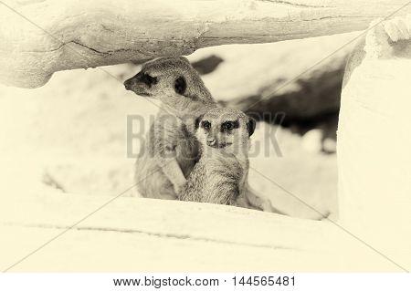 Meerkat Standing Upright And Looking Alert. Vintage Effect