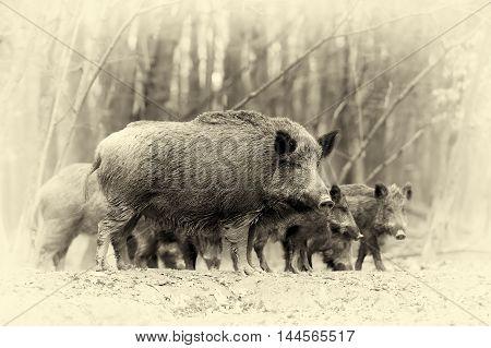 Wild Boar In Autumn Forest. Vintage Effect