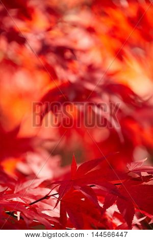 Red foliage, Autumn concept