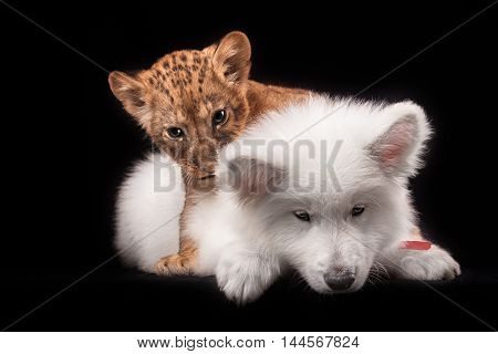 little lion cub and white puppy in Studio on black background
