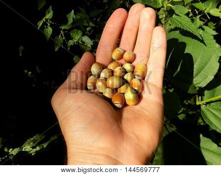 Small hazelnuts in nutshell on human palm