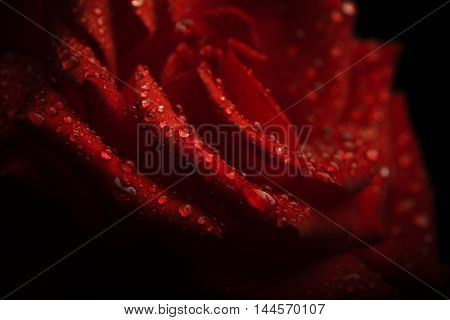 water droplets on a red rose petals. flora