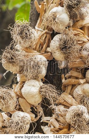 Hanging braided garlic - Old proven way to store garlic in the home, vertical