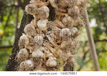 Garlic, braided wreaths in order to properly preserve it until the next harvest, country style