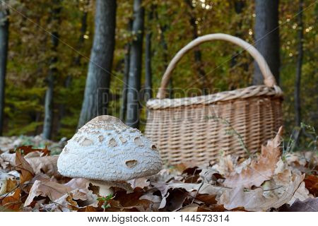 Excellent edible Macrolepiota excoriata with wicker basket on the perimetar of fall oak forest