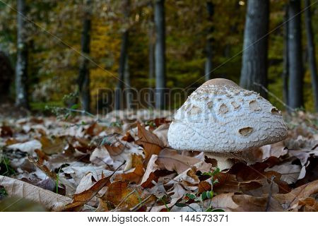 Macrolepiota excoriata in the fallen leaves on small meadow on the perimetar of autumn oak forest