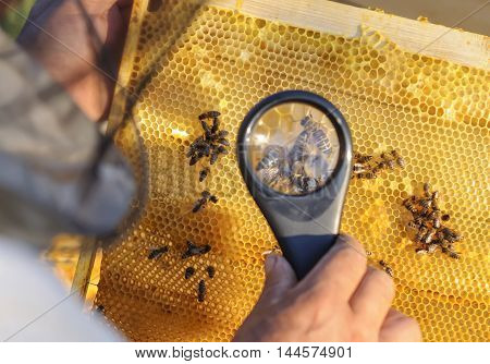 Beekeeper consider bees in honeycombs with a magnifying glass.
