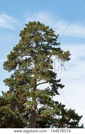 large pine on the background of clear blue sky