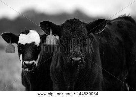 Black and white image of two calves from the chest up looking at the camera