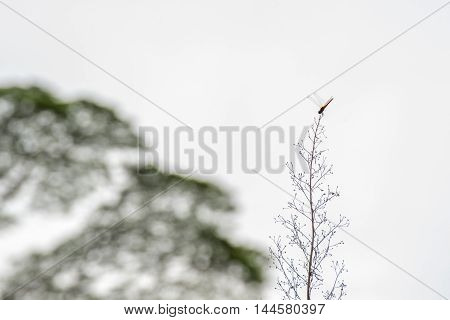 Silhouette of a dragonfly crouching on tip of a tall grass in front of de-focused trees under clear sky.