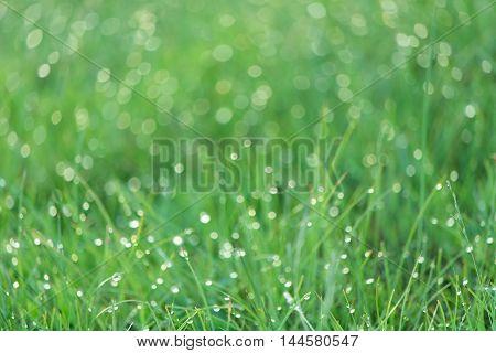 Many dewdrops shining in light of sunrise in green field.