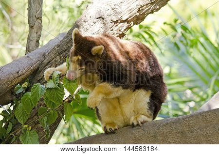 the tree kanagaroo is sitting on a branch eating leaves