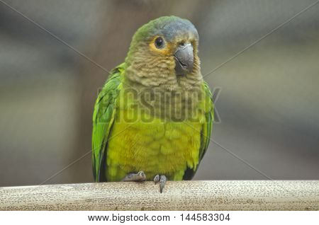 this is a close up of a brown throated conure